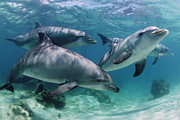 Cetaceans Posters - Group Of Bottlenose Dolphins Underwater Photograph Poster by Brandon Cole