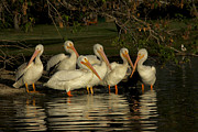 Diana Haronis - Group of White Pelicans