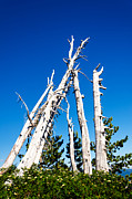 Mt Hood National Forest Prints - Grove of Dead Trees Print by Jess Kraft