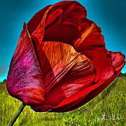 William Havle - Growing Red Tulip