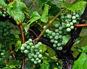 Concord Grapes Art - Growing Season by Robert Harmon