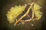 Earth Tone Art Metal Prints - Grunge Giant Swallowtail Metal Print by Rudy Umans