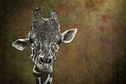 Dromedary Photos - Grungy Giraffe 5654 brown by Rudy Umans