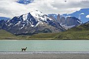 Llamas Photo Acrylic Prints - Guanaco at Laguna Amarga Acrylic Print by Michele Burgess