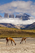 Feeding Photos - Guanacos and Granite Torres by Tim Grams