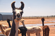 Country Scenes Photographs Prints - Guard Llama Print by Melany Sarafis