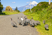 Fowl Photos - Guinea Fowl Taranaki New Zealand by Colin and Linda McKie
