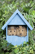 Shed Digital Art Framed Prints - Guinea Pig in House GP104 Framed Print by Greg Cuddiford