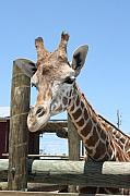 Beth Parrish - Gulf Breeze Giraffe