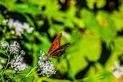 Barry Jones - Gulf Fritillary Butterfly