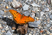 Neotropics Prints - Gulf Fritillary butterfly Print by James Brunker