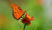 Jodi Terracina - Gulf Fritillary with...