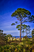 Palmettos Prints - Gulf Pines Print by Marvin Spates