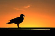 Bob Savage - Gull at Sunset Mount...