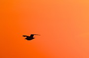 Flying Gull Posters - Gull at Sunset Poster by Stuart Litoff