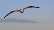 Bill LITTELL - Gull in flight