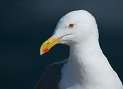 Photographs With Red. Prints - Gull Watcher Print by Bob Smithing