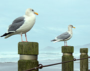 Denise Darby - Gulls at Nye Beach