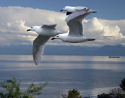 Gulls In Flight Print by George Cousins