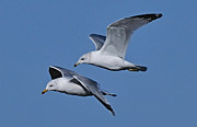 Keith Sloter - Gulls in flight