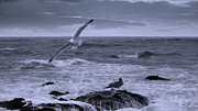 Seashore Digital Art Metal Prints - Gulls in Stormy Surf Metal Print by IM Spadecaller