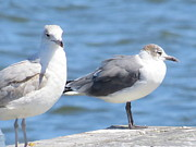 Seagull Photo Prints - Gulls of Florida II Print by Zulfiya Stromberg