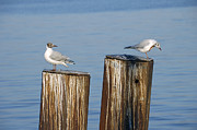 Sea Gulls Prints - Gulls sitting on pole Print by Matthias Hauser