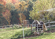 Toni Thomas - Gypsy Vanner Fall Colors