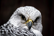 Gyrfalcon  Framed Prints - Gyrfalcon Closeup D3540 Framed Print by Wes and Dotty Weber
