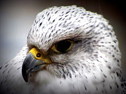 Gyrfalcon  Metal Prints - Gyrfalcon Head-shot Metal Print by Mary Hill