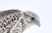 Gyrfalcon  Framed Prints - Gyrfalcon in Profile Framed Print by Nathan Mccreery