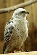 Gyrfalcon  Art - Gyrfalcon by Mary Hill