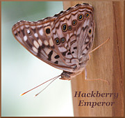 April Wietrecki - Hackberry Emperor