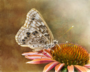 Nectar Posters - Hackberry Emperor Butterfly 2 Poster by Betty LaRue