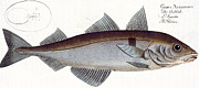 Haddock Print by Andreas Ludwig Kruger