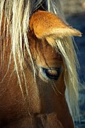 Paul Wash Art - Haflinger Beauty by Paul Wash
