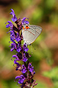 Flower Gardens Digital Art Prints - Hairstreak Butterfly Print by Christina Rollo