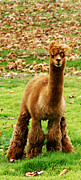 Alpaca Framed Prints - Hairy Brown Gumby AKA Brown Alpaca Framed Print by Barbara Snyder
