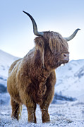 Coo Photos - Hairy Coo by Justin Foulkes