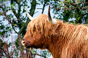 Coo Photos - Hairy Coo by Trever Miller