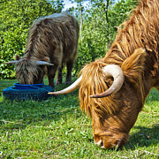 Longhorn Photos - Hairy cow feeding by Antony McAulay