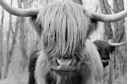 Hairy Posters - Hairy Cow Poster by Stephanie McDowell