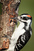 Woodpecker Framed Prints - Hairy Woodpecker Framed Print by Bill  Wakeley