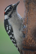 Jennifer  King - Hairy Woodpecker