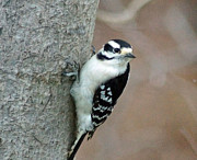 Tabatha Knox - Hairy woodpecker on tree 
