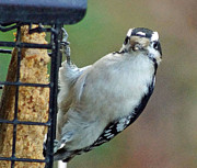 Tabatha Knox - Hairy woodpecker waiting...