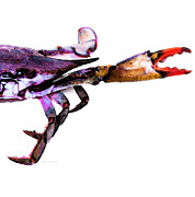 Blue Claws Framed Prints - Half Crab - The Right Side Framed Print by Sharon Cummings