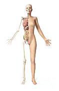 Human Body Parts Posters - Half Cutaway View Showing Skeleton Poster by Leonello Calvetti