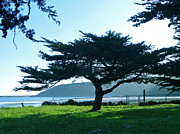 Kingston Prints - Half Moon Bay Cypress Print by K Kingston
