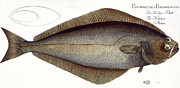 Halibut Print by Andreas Ludwig Kruger